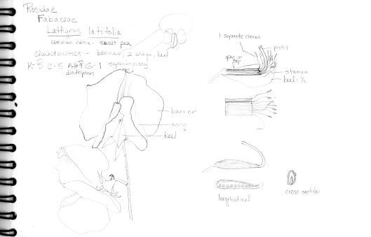 Peavine dissection © 2014 Karen A Johnson