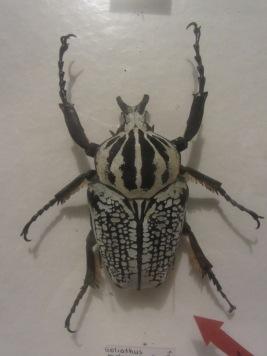 Goliath beetle © 2014 Karen A. Johnson